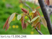 Купить «Ветка с молодыми листьями грецкого ореха (Juglans regia)», фото № 5896244, снято 1 мая 2014 г. (c) Ирина Борсученко / Фотобанк Лори