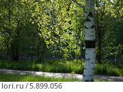 Берёза в парке на реке Яуза. Стоковое фото, фотограф Зауро Владимир / Фотобанк Лори