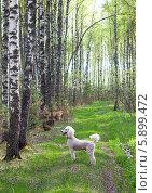 Белый королевский пудель в весеннем березовом лесу. Стоковое фото, фотограф Екатерина Радомская / Фотобанк Лори