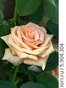 Купить «Чайно-гибридная роза Роял Паркс (Royal Parks) Harkness», фото № 5904304, снято 17 июля 2013 г. (c) Ольга Сейфутдинова / Фотобанк Лори