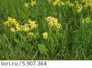 Купить «Дикорастущая примула (лат. Primula)», эксклюзивное фото № 5907364, снято 15 мая 2014 г. (c) Елена Коромыслова / Фотобанк Лори