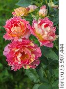 Купить «Роза флорибунда Роз де Цистерсьен (Rose des Cisterciens) Delbard», фото № 5907444, снято 7 июля 2013 г. (c) Ольга Сейфутдинова / Фотобанк Лори