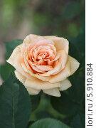Купить «Чайно-гибридная роза Роял Паркс (Royal Parks) Harkness», фото № 5910884, снято 17 июля 2013 г. (c) Ольга Сейфутдинова / Фотобанк Лори