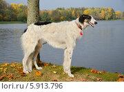Купить «Молодая русская псовая борзая», фото № 5913796, снято 12 октября 2013 г. (c) Наталия Евмененко / Фотобанк Лори