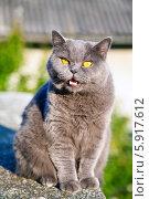 Купить «Британская кошка», фото № 5917612, снято 27 июля 2013 г. (c) Анна Лурье / Фотобанк Лори