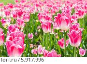 Распустившиеся розовые тюльпаны в солнечный день, весна. Стоковое фото, фотограф E. O. / Фотобанк Лори
