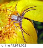 Купить «Цветок адониса и паук-краб», эксклюзивное фото № 5918052, снято 15 мая 2014 г. (c) Евгений Мухортов / Фотобанк Лори