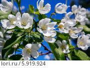 Яблоневый цвет. Стоковое фото, фотограф Александр Носков / Фотобанк Лори