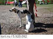 Выставка охотничьих собак 2014. Английский пойнтер. Стоковое фото, фотограф Геннадий Балаев / Фотобанк Лори