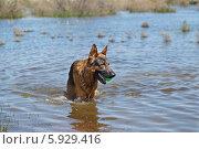 Купить «Мокрая Овчарка играет с мячом в воде», фото № 5929416, снято 21 мая 2014 г. (c) Андрей Воробьев / Фотобанк Лори
