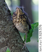Птенец с хохолками, застывший на дереве. Стоковое фото, фотограф Сергей Хаменок / Фотобанк Лори