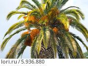 Купить «Листья и плоды финиковой пальмы на фоне неба», фото № 5936880, снято 9 августа 2013 г. (c) Анна Кудрявцева / Фотобанк Лори