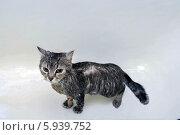 Мокрый кот в ванне. Стоковое фото, фотограф OlgaM. / Фотобанк Лори