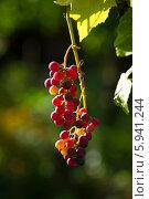 Купить «Созревающая гроздь винограда Изабелла (Vitis labrusca L.)», фото № 5941244, снято 5 августа 2013 г. (c) Анна Кудрявцева / Фотобанк Лори