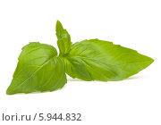 Листья свежего зеленого базилика на белом фоне. Стоковое фото, фотограф Natalja Stotika / Фотобанк Лори
