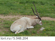 Купить «Аддакс (антилопа мендес) в пражском зоопарке», фото № 5948204, снято 12 апреля 2014 г. (c) Хименков Николай / Фотобанк Лори