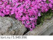 Купить «Весеннее цветение флокса Друммонда», эксклюзивное фото № 5949996, снято 16 мая 2014 г. (c) Ната Антонова / Фотобанк Лори