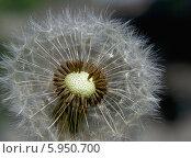 Созревший цветок одуванчика. Стоковое фото, фотограф Зацепина Галина / Фотобанк Лори