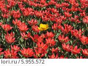 Один желтый тюльпан и много красных красивых тюльпанов. Стоковое фото, фотограф lana1501 / Фотобанк Лори