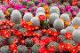 Цветущие кактусы в горшках, фото № 5957332, снято 11 мая 2014 г. (c) Наталья Волкова / Фотобанк Лори