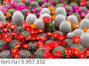 Купить «Цветущие кактусы в горшках», фото № 5957332, снято 11 мая 2014 г. (c) Наталья Волкова / Фотобанк Лори