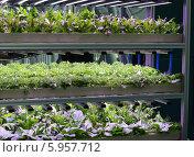 Купить «Рассада салата растет в горшочках на гидропонике на стеллаже под лампой», фото № 5957712, снято 29 мая 2014 г. (c) Ольга Липунова / Фотобанк Лори