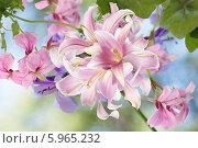 Купить «Красивые розовые японские лилии», фото № 5965232, снято 29 мая 2012 г. (c) Сергей Гавриличев / Фотобанк Лори