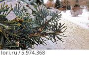 Ветви ели покрытые льдом. Стоковое фото, фотограф Александр Коноваленко / Фотобанк Лори