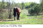 Купить «Гнедая лошадь ходит по полю», видеоролик № 5976156, снято 5 июня 2014 г. (c) Кекяляйнен Андрей / Фотобанк Лори