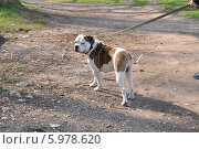 Собака на поводке. Стоковое фото, фотограф Галина  Горбунова / Фотобанк Лори