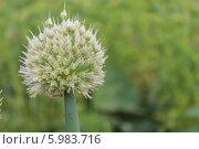 Цветущий лук. Стоковое фото, фотограф Юлия Ковальчук / Фотобанк Лори