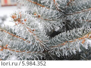 Еловая ветка зимой в инее. Стоковое фото, фотограф Елена Стрильчук / Фотобанк Лори