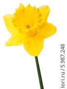 Купить «Желтый нарцисс на белом фоне», фото № 5987248, снято 9 мая 2013 г. (c) Natalja Stotika / Фотобанк Лори