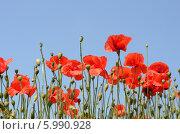 Красные маки на фоне голубого неба. Стоковое фото, фотограф Наталия Тихонова / Фотобанк Лори