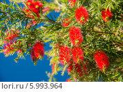 Мягкие красные шишки на дереве, остров Мадейра. Стоковое фото, фотограф Ilya Druzhinin / Фотобанк Лори