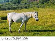 Купить «Белая лошадь на природе», фото № 5994556, снято 8 июня 2014 г. (c) Наталья Волкова / Фотобанк Лори