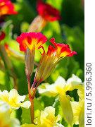 Купить «Первоцвет, или Примула (Primula) — род растений из семейства Первоцветные (Primulaceae) порядка Верескоцветные (Ericales). Соцветие крупно», эксклюзивное фото № 5996360, снято 17 марта 2012 г. (c) Евгений Мухортов / Фотобанк Лори