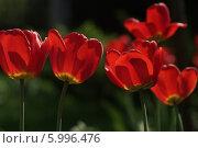 Цветы красного тюльпана декоративного. Стоковое фото, фотограф Наталья Николаева / Фотобанк Лори