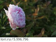 Купить «Розовый цветок», фото № 5996796, снято 10 июня 2014 г. (c) Ivanova Irina / Фотобанк Лори