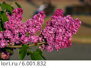 Купить «Ветка цветущей сирени», фото № 6001832, снято 16 мая 2014 г. (c) Ольга Сейфутдинова / Фотобанк Лори
