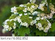 Купить «Ветка цветущей садовой калины», фото № 6002852, снято 24 мая 2014 г. (c) Ольга Сейфутдинова / Фотобанк Лори