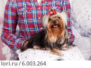 Модная собачка на коленях у хозяйки. Стоковое фото, фотограф Olga Taranik / Фотобанк Лори
