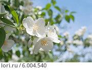 Купить «Чубушник (лат. Philadelphus) цветёт на фоне голубого неба», эксклюзивное фото № 6004540, снято 19 января 2020 г. (c) Svet / Фотобанк Лори