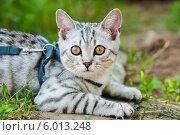 Купить «Светлая британская кошка лежит на траве», эксклюзивное фото № 6013248, снято 24 мая 2014 г. (c) Игорь Низов / Фотобанк Лори