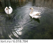 Купить «Пара лебедей», фото № 6018784, снято 15 апреля 2014 г. (c) Светлана Голубкова / Фотобанк Лори