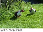 Купить «Индоутка, или Мускусная утка (Cairina moschata)», фото № 6024928, снято 21 мая 2014 г. (c) Татьяна Кахилл / Фотобанк Лори