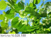 Купить «Цветение липы», фото № 6028188, снято 5 июня 2014 г. (c) Татьяна Белова / Фотобанк Лори