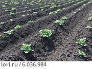 Всходы картофеля на черном поле. Стоковое фото, фотограф Дмитрий Бурлаков / Фотобанк Лори