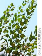 Ярутка полевая (Thlаspi arvеnse) — однолетнее травянистое растение, вид рода Ярутка (Thlaspi) семейства Капустные (Brassicaceae) Стоковое фото, фотограф Евгений Мухортов / Фотобанк Лори