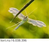 Купить «Белый мотылёк расставив крылья сидит на травинке», эксклюзивное фото № 6038396, снято 6 июня 2014 г. (c) Игорь Низов / Фотобанк Лори